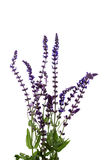 Wild Lupine. Royalty Free Stock Photography