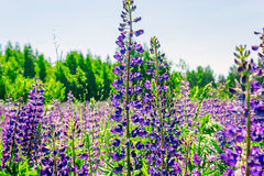 Wild lupine flowers Stock Photos