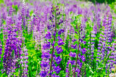 Wild lupine flowers stock images