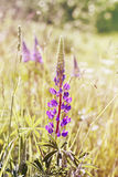 Wild lupine Royalty Free Stock Photo