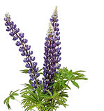 Wild lupines stock photography