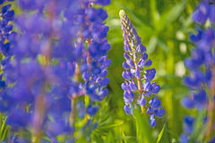 Wild lupines flowers Royalty Free Stock Image