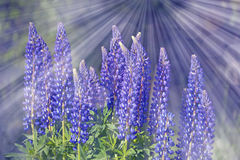 Wild lupines flowers Royalty Free Stock Photo