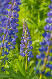 Wild lupines flowers Stock Photos
