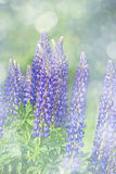 Wild lupines flowers Stock Images