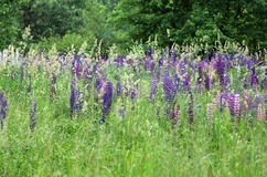 Wild lupines Royalty Free Stock Photos
