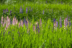 Wild Lupines Royalty Free Stock Photography