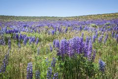 Free Wild Lupines In Colorado Meadow Floral Scene Stock Image - 150898661