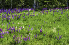Wild Lupines, Minnesota Royalty Free Stock Photos