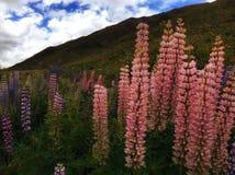 wild lupins Royaltyfri Fotografi