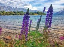 wild lupins Fotografering för Bildbyråer