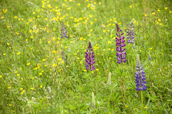 Wild Lupins. And Buttercups in a fresh green springtime mountain meadow. With space for copy royalty free stock image