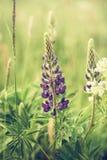 wild lupins Arkivbild