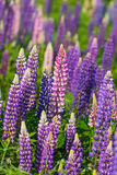 Wild Lupins Stock Image