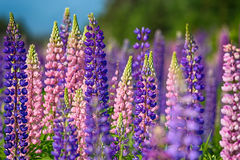 Wild Lupins Stock Photos