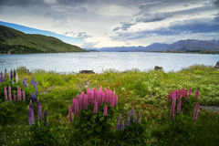 Wild Lupins and Lake Pukaki Royalty Free Stock Images