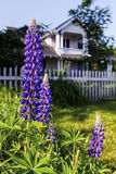 Wild Lupins Royalty Free Stock Image