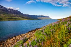 Lupinus at Seydisfjordur fjord in Eastern Iceland Scandinavia royalty free stock photos