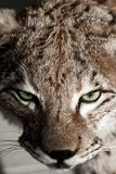 Wild Lynx Closeup. Vertical Photo. Wild Green Lynx Eyes. Animals Photo Collection Royalty Free Stock Photo