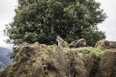 Wild lynx Stock Images
