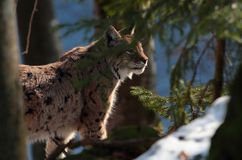 Wild lynx into the forest Royalty Free Stock Images
