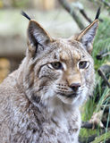 Wild lynx in a forest Royalty Free Stock Image