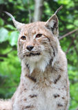 Wild lynx in a forest Stock Photo