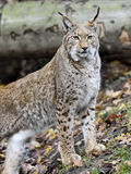 Wild lynx in a forest Stock Photography