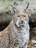 Wild lynx in a forest Stock Images