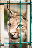 Wild lynx looking through the bars Royalty Free Stock Image