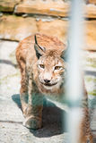 Wild lynx looking through the bars Stock Images
