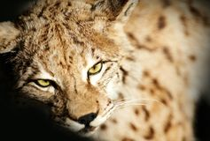 Wild Lynx Taxidermy. Closeup Lynx Photography. Animals Photo Collection. Taxidermy Theme Stock Photos