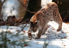 Wild lynx walk on snow in winter Royalty Free Stock Image