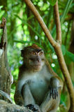 Wild macaca monkey in tropical forest.  Royalty Free Stock Images