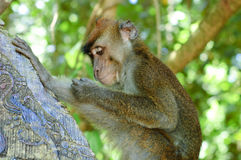 Wild macaca monkey in tropical forest.  Royalty Free Stock Image