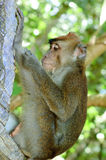 Wild macaca monkey in tropical forest.  Stock Photo