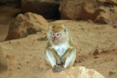 Wild macaque Royalty Free Stock Photos