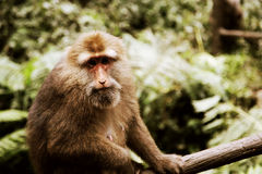 The wild Macaque in Emei mountain Stock Image
