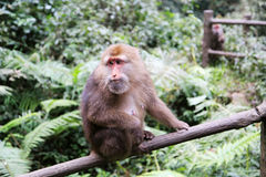 The wild Macaque in Emei mountain Royalty Free Stock Images