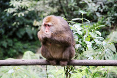 The wild Macaque in Emei mountain Royalty Free Stock Photo