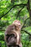 The wild Macaque in Emei mountain Stock Photo