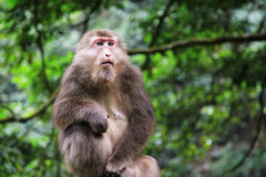 The wild Macaque in Emei mountain Stock Photography