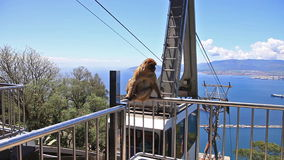 Wild macaque Gibraltar. Gibraltar, United Kingdom - April 24, 2016: a famous wild macaque in Upper Rock Natural Reserve. With the cable car that leads to stock footage