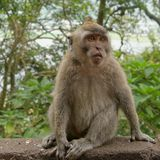 Macaque Monkey in Bali. Wild Macaque Monkey in Bali Royalty Free Stock Photography