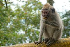 Macaque Monkey in Bali. Wild macaque monkey eating a banana in Bali Royalty Free Stock Images