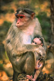 A wild macaque monkey family Stock Photography