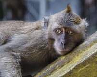 Wild Macaque Monkey Laying Down Stock Image