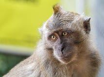 Wild Macaque Monkey Royalty Free Stock Photo