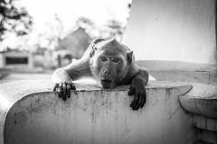 Wild macaque monkey in Thailand Stock Image
