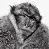 Wild macaque in the Rock of Gibraltar, black and white Stock Photo